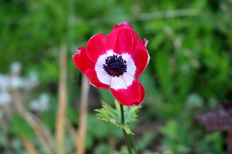 Bicolor red and white Anemone perennial plant with fully open blooming petals and dark black center planted in local urban garden. On warm sunny spring day stock images