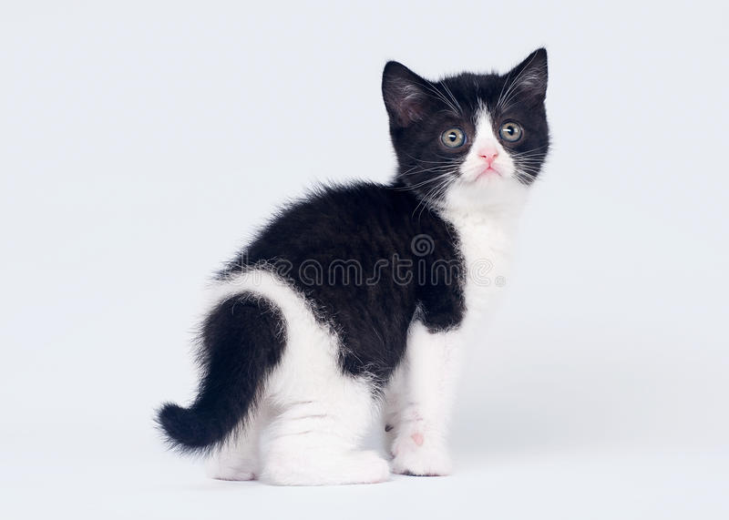 Download Bicolor Scottish Straight Kitten Stock Image - Image of portrait, ears: 26118929