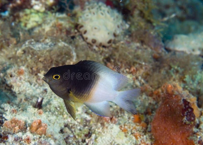 bicolor stegastes partitus damselfish стоковая фотография rf