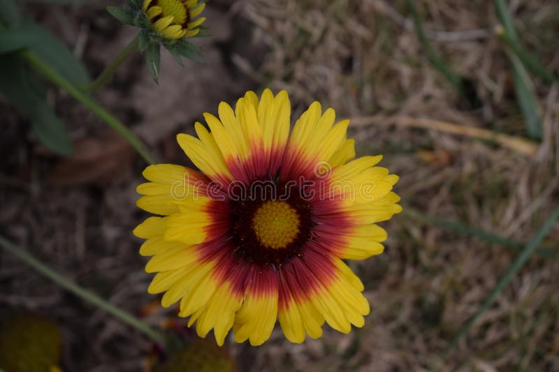 Bicolor Sunflower blooms. A bicolor sunflower with tiny blooms in it . Looking extremely amazing. This flower symbolize adoration, loyalty and longevity stock photo