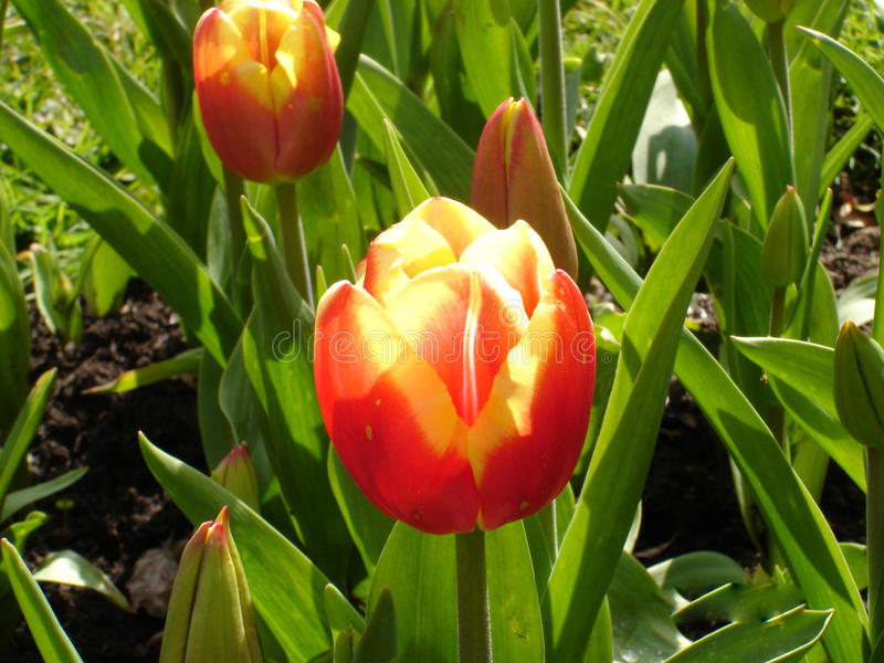 Bicolor tulips stock images