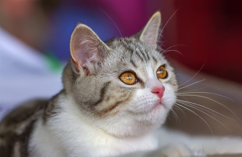 Bicolore tigré de marbre argenté de noir britannique de chaton photographie stock libre de droits