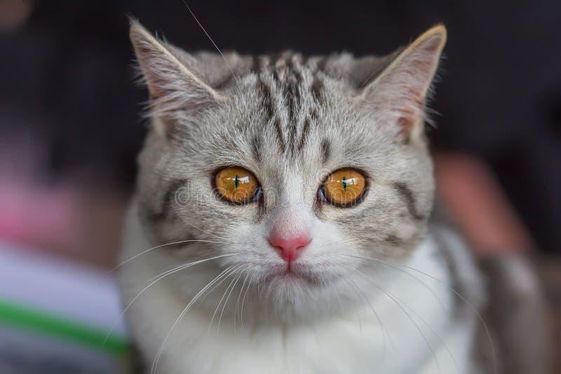 Bicolore tigré de marbre argenté de noir britannique de chaton photographie stock