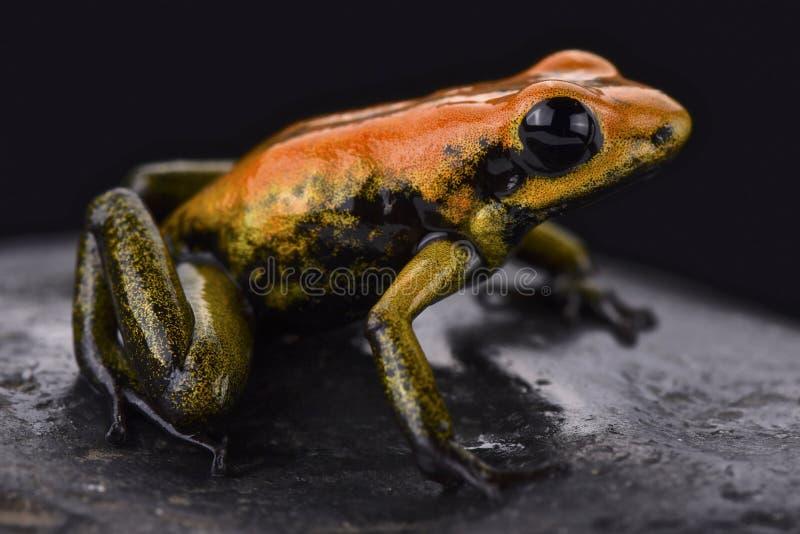 Bicolored dart frog (Phyllobates bicolor) royalty free stock photo