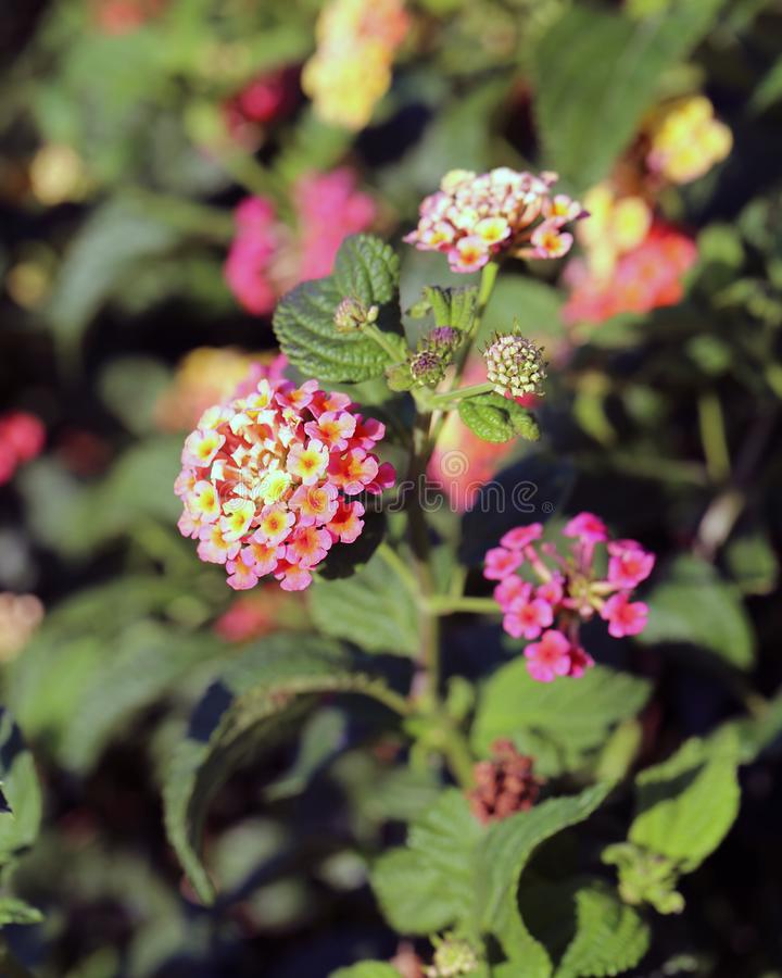 Bicolored Pink and Yellow Lantana Flowers with Green Leaves in a Closeup stock photography