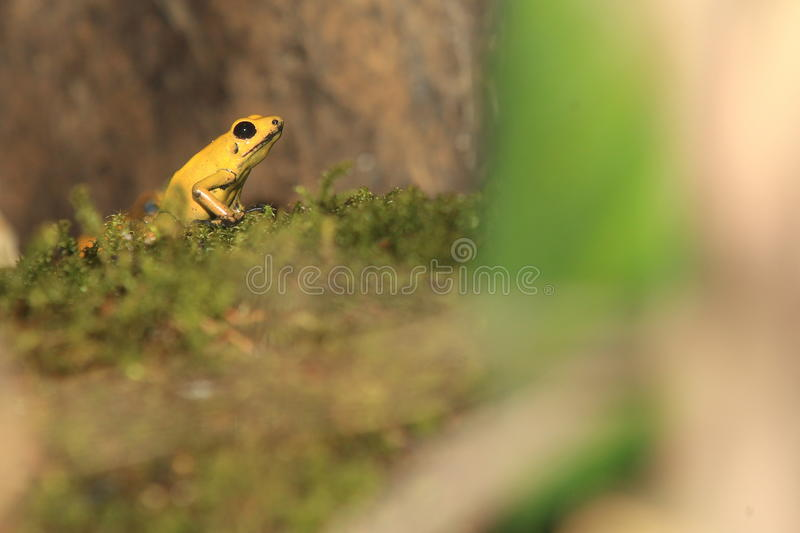 Bicolored poison dart frog. On the moss royalty free stock photos