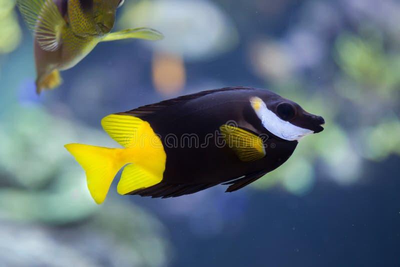 Download Bicolored Uspi Siganus Foxface Стоковое Фото - изображение насчитывающей заплывание, экзотическо: 81810444