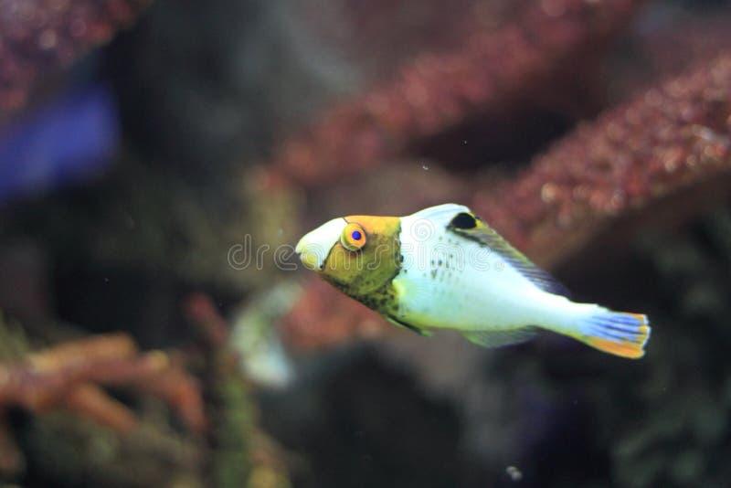 Bicolour parrotfish royalty free stock photos