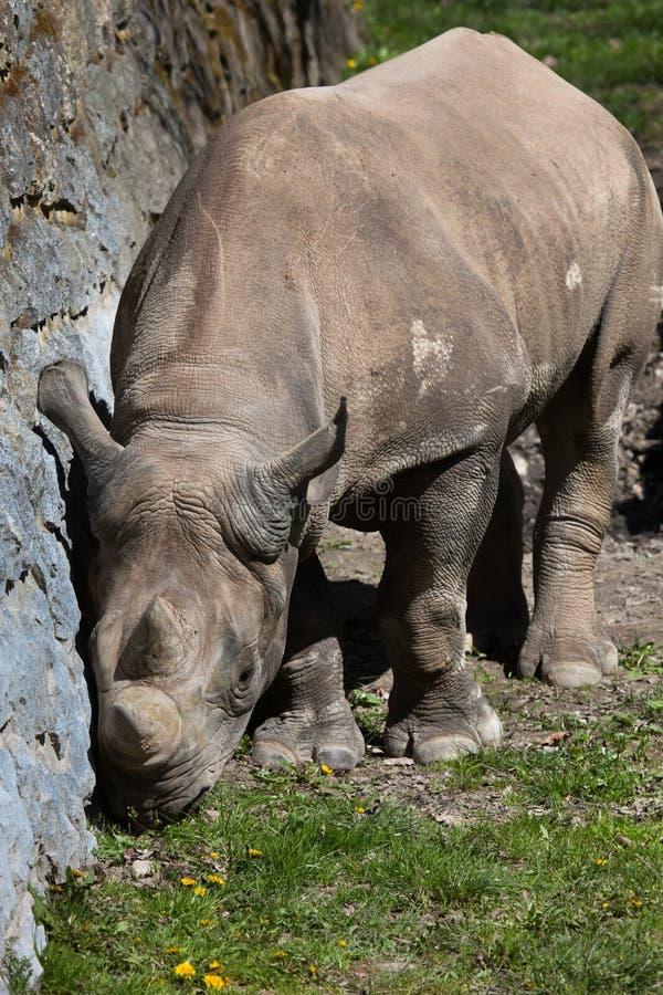 bicornis czarny diceros nosorożec fotografia royalty free