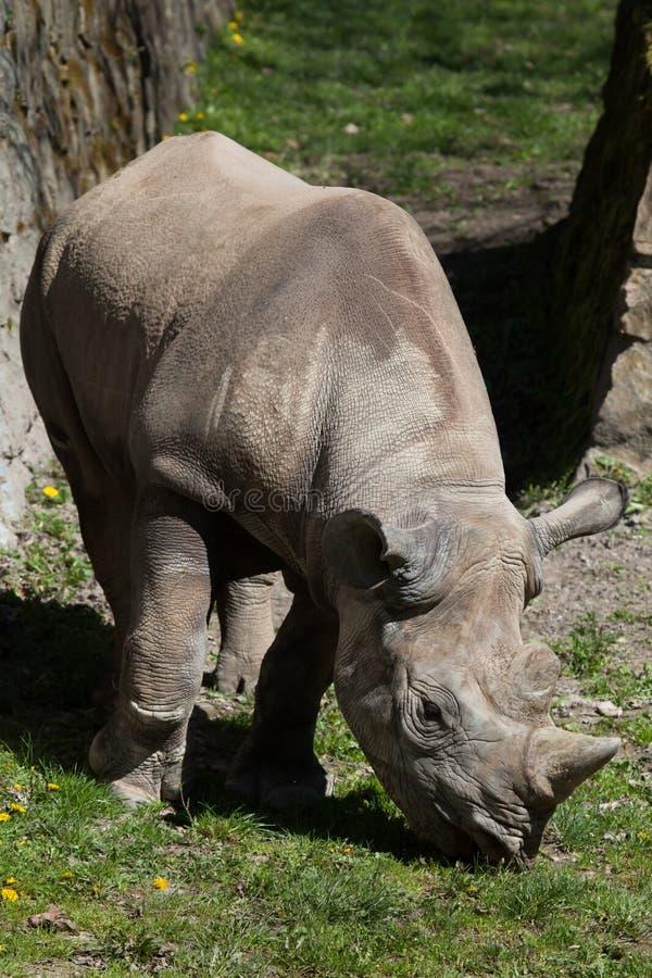 bicornis czarny diceros nosorożec zdjęcie royalty free