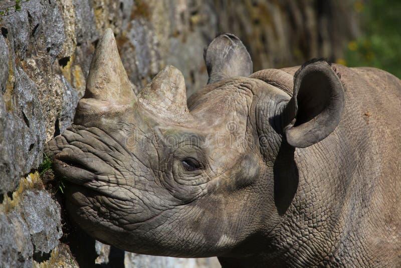 Bicornis del Diceros del rinoceronte nero immagini stock