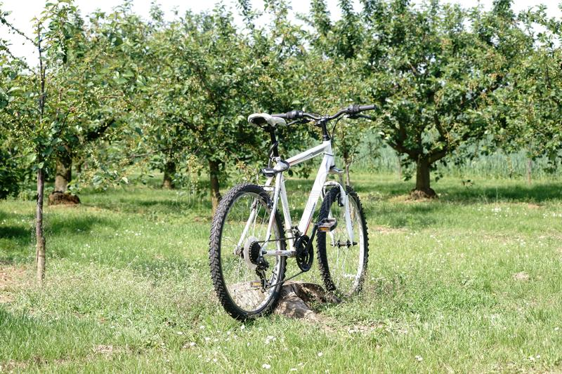 Bicycle in the cherry grove. A bicycle stands on the edge of a cherry grove or a cherry tree plantation with pruned cherry trees stock photography