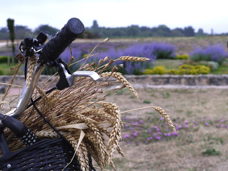Bicycle and lavender fields on Il de Re South West France. Barley in a basket on the front of the bicycle showing handlebars and lavender landscape royalty free stock photos
