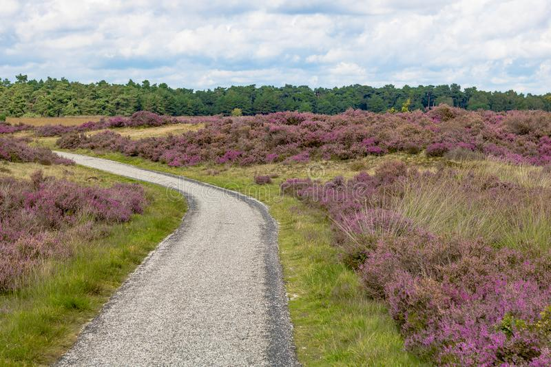 Bicycle way through the heathland of the hoge veluwe. Bicycle way in the heathland of the hoge veluwe, near arnheim in the netherlands. natural reserve with stock images