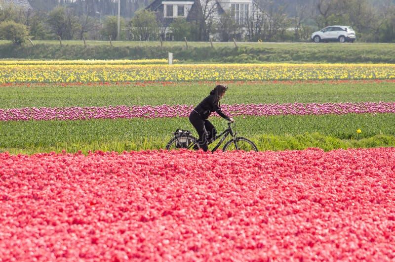 Bicycling através dos campos de flor imagens de stock