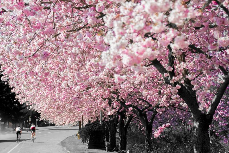 Bicyclist Biking Under The Dreamy Bright Pink Spring Cherry Blossom In Full Bloom During A Warm Afternoon In Fall City Washington. Talk about being at the stock photo