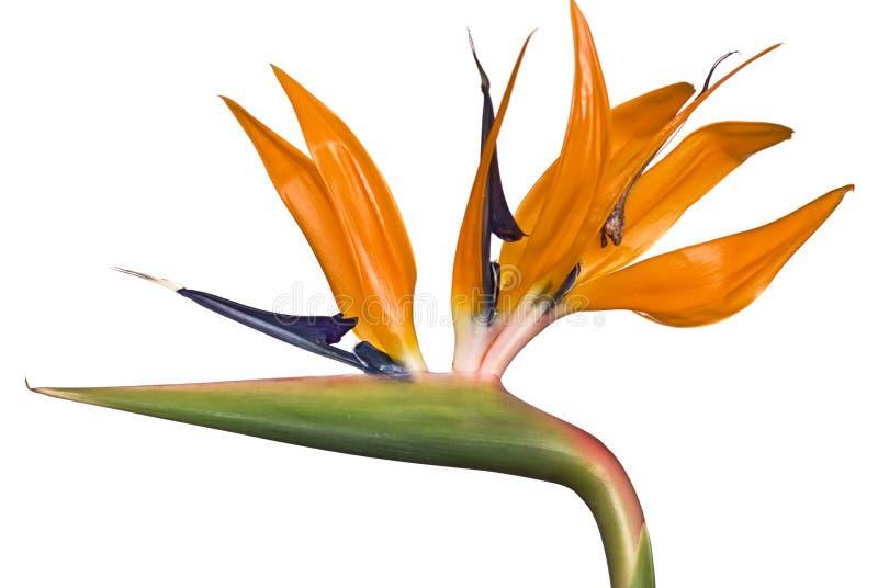 Bid of Paradise Flower. Bird of Paradise flower isolated on white stock image