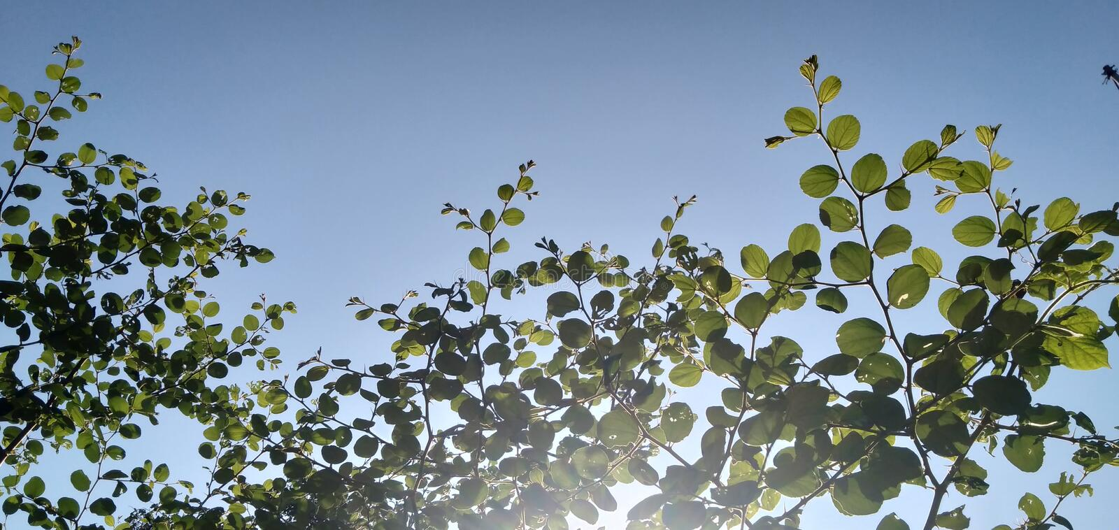 The bidara tree looks from below with a backdrop of sunshine. Green, flare, silhouette, morning, garden, therapy, plant, outdoor, park, herb, medicine royalty free stock photos