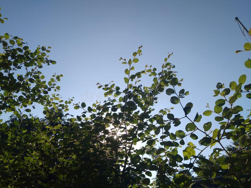 The bidara tree looks from below with a backdrop of sunshine. Green, flare, silhouette, morning, garden, therapy, plant, outdoor, park, herb, medicine royalty free stock photography