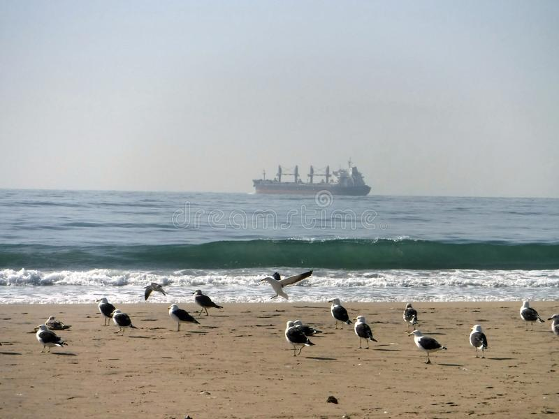 Bidding farewell. A flock of gulls with departing cargo ship in distance stock images