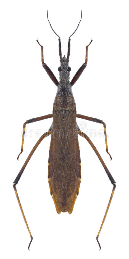 Bidentata van insectenpygolampis stock afbeeldingen