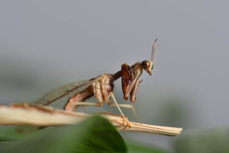 Bidsprinkhaan-vlieg stock foto