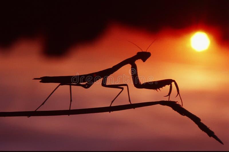 Bidsprinkhanen in de zonsondergang stock foto's
