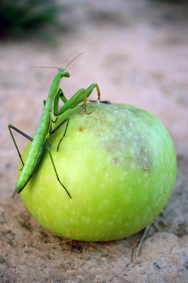 Bidsprinkhanen die op appel beklimmen royalty-vrije stock afbeelding
