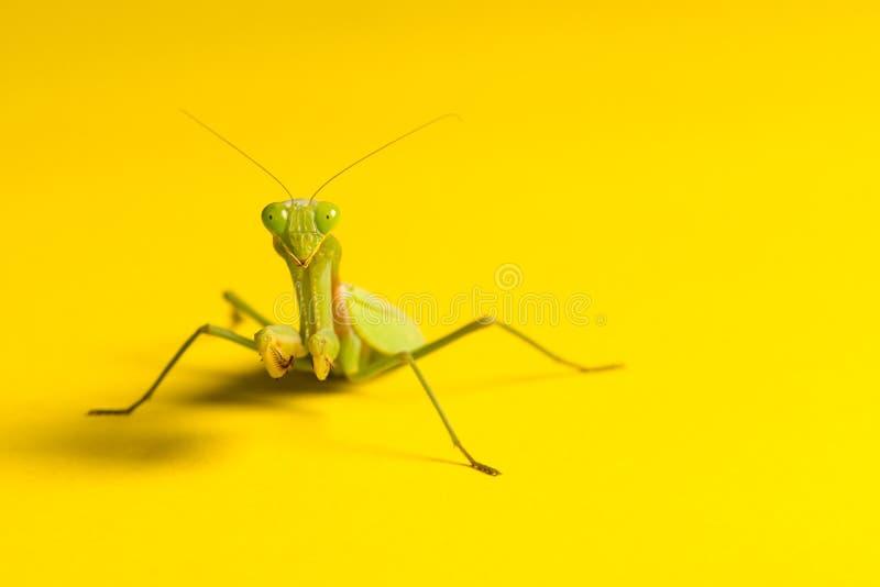 Bidsprinkhanen op de gele achtergrond stock foto's