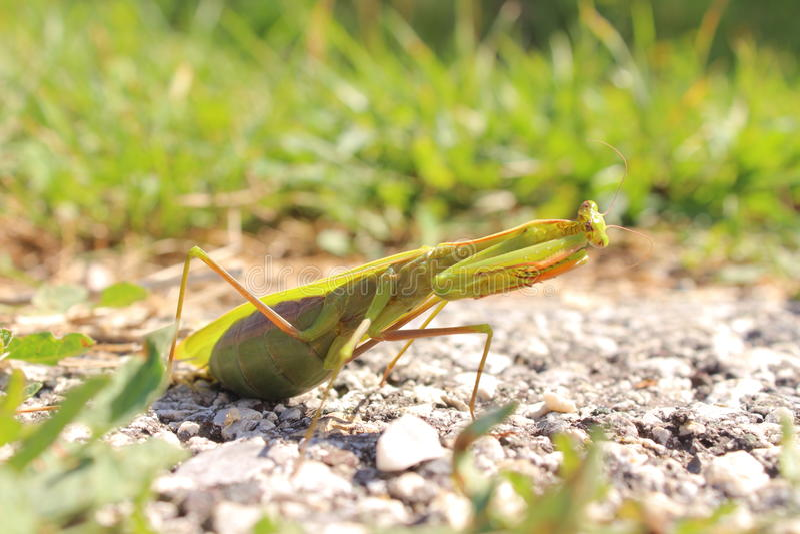 Bidsprinkhaneninsect in aard royalty-vrije stock foto