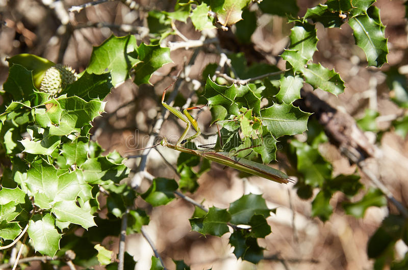 Bidsprinkhaneninsect op groene bladeren stock foto's