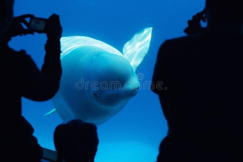Bieługa wieloryb z turystami fotografia stock