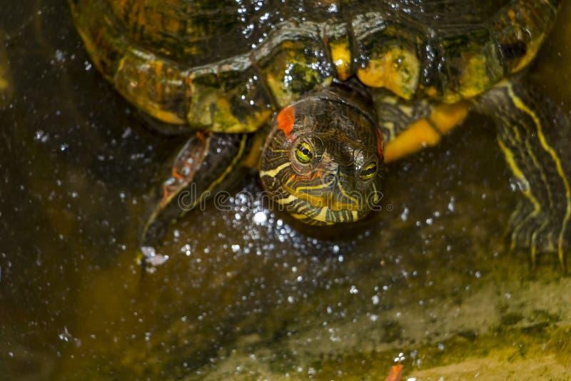 Biedny mały żółw obraz stock