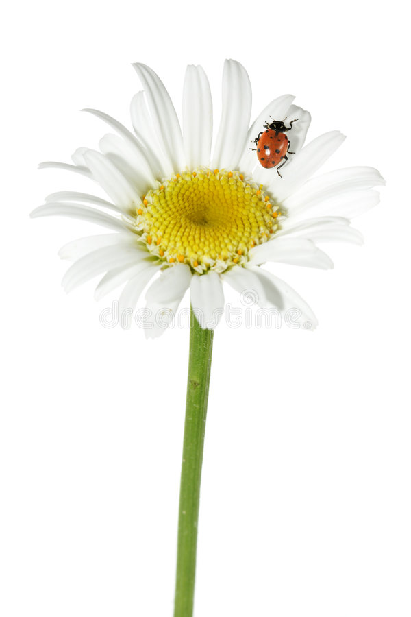 biedronka daisy zdjęcia royalty free