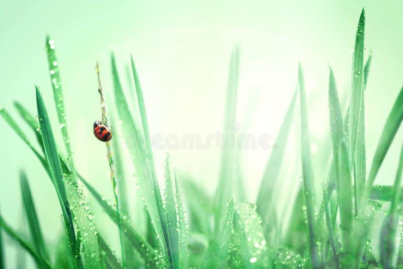 Biedronka i świeża zielona trawa z kropelkami po deszczu z powrotem fotografia royalty free