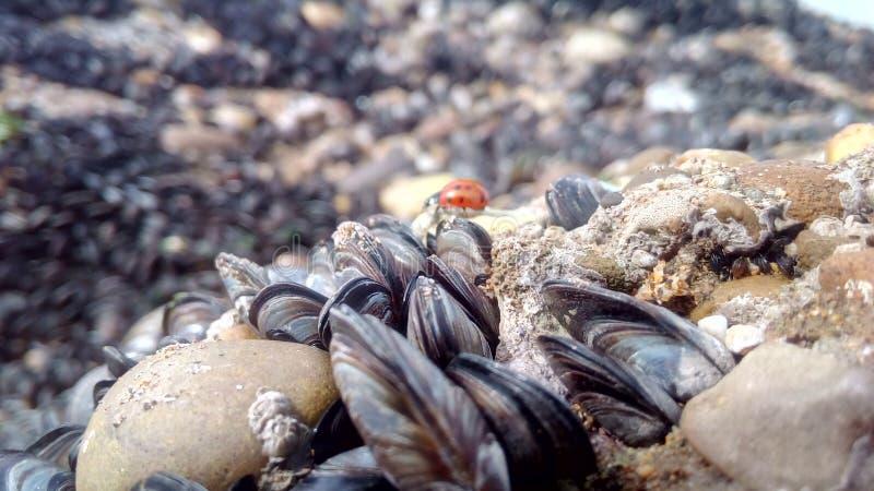 biedronka i mussels w plaży fotografia stock