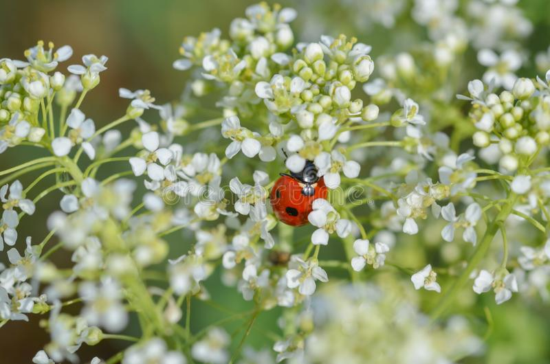Biedronka jest na dzikich białych kwiatach zdjęcie royalty free