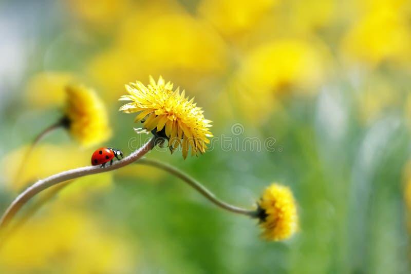 Biedronka na żółtym wiosna kwiacie Artystyczny makro- wizerunek Pojęcie wiosny lato fotografia stock