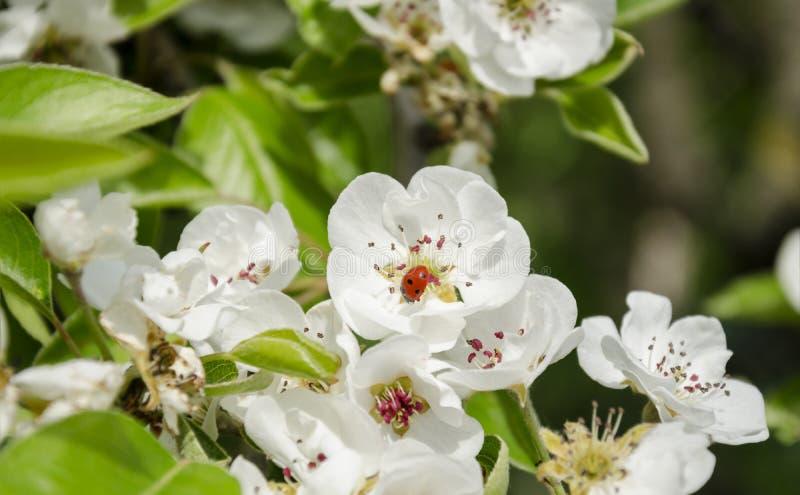 Biedronka na białym kwiacie zdjęcia stock