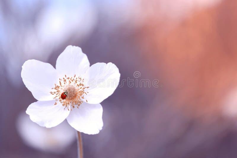 Biedronka na białym kwiacie, piękny zamazany stonowany tło Delikatny marzycielski wizerunek Selekcyjna ostro??, kopii przestrze? zdjęcia stock