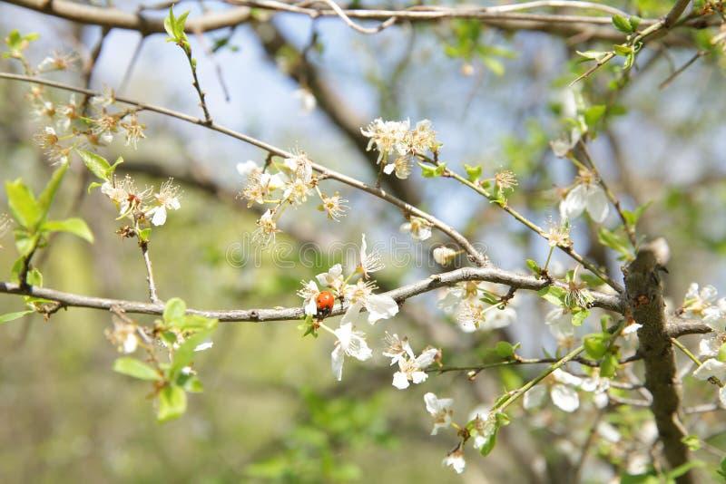 Biedronka na gałąź kwitnie drzewo w wiośnie zdjęcia royalty free