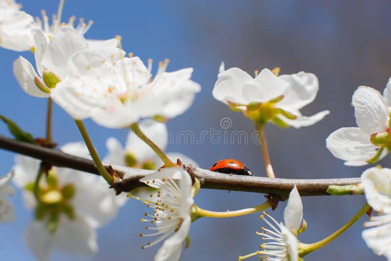 Biedronka na gałąź kwitnie owocowy drzewo fotografia royalty free