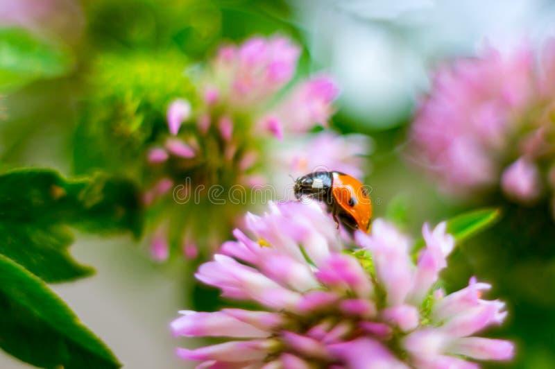Biedronka na koniczynowym kwiacie na słonecznym dniu Pi?kny t?o mi?kkie ogniska, zdjęcia royalty free
