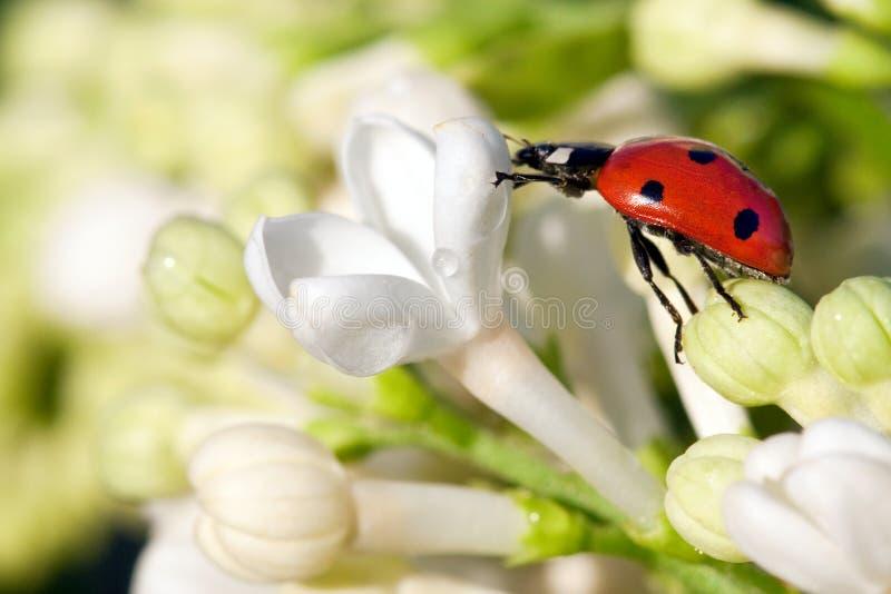 Biedronka na kwiacie obraz royalty free