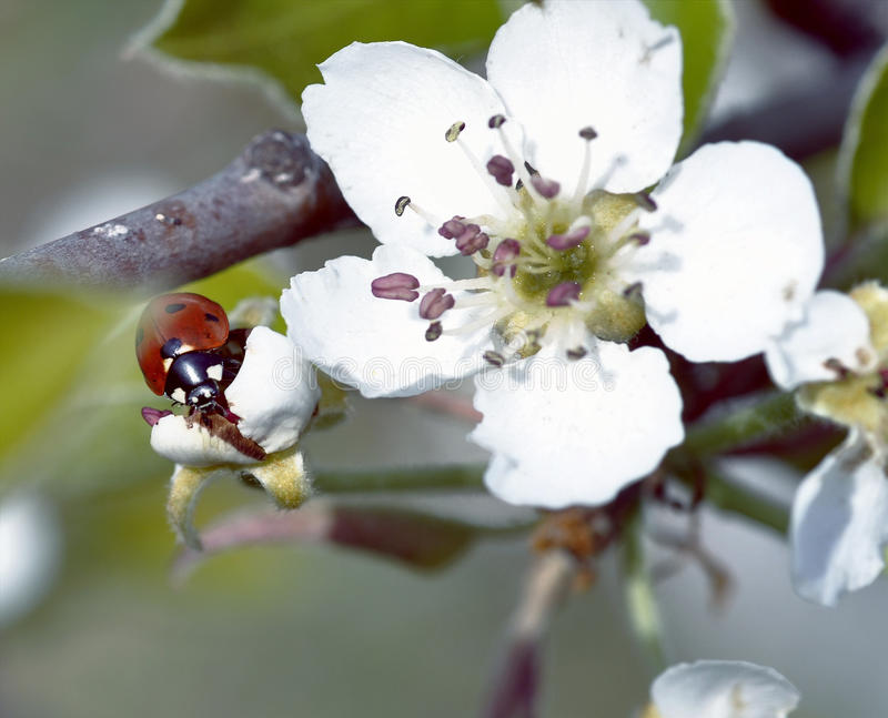Biedronka na kwitnących owocowych gałąź z bliska obraz stock