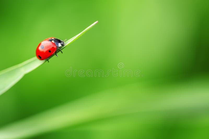 Biedronka na liściu i zieleni tle zdjęcie stock