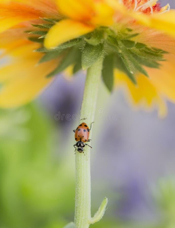 Biedronka na pięknym jaskrawym kolorze żółtym pomarańczowym kwiacie i obraz stock
