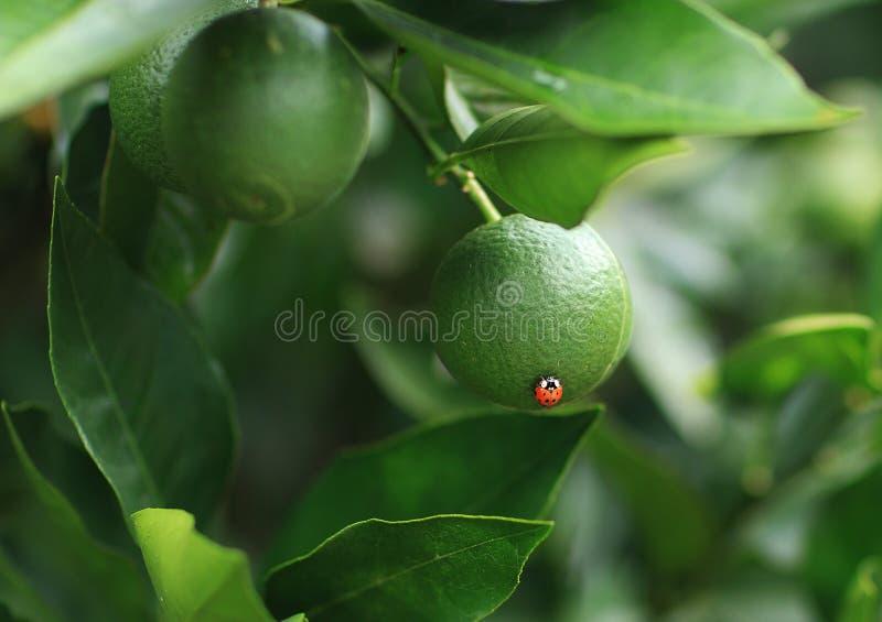 Biedronka na pomarańcze obrazy stock