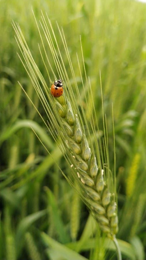 Biedronka na pszenicznych uprawach zdjęcie royalty free