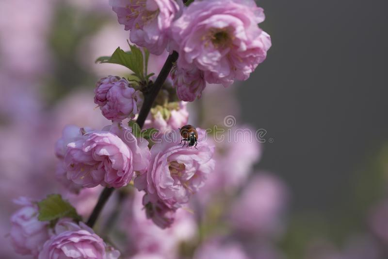 Biedronka na r??owym wiosna kwiacie zdjęcie royalty free